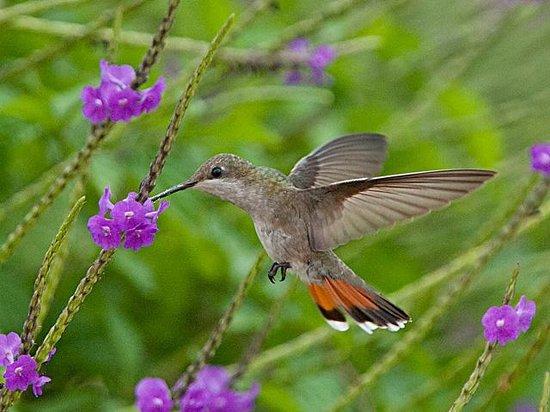 Wanapa Lodge: Hummingbird