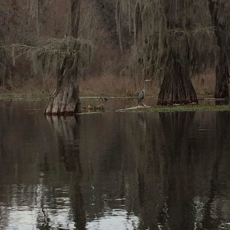 LeBlanc Swamp Tours: Lots of cypress trees and birds