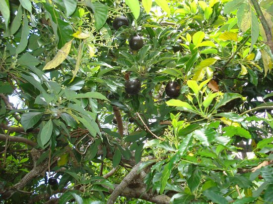 "Pomaika'i ""Lucky"" Farm B&B: fruit tree"