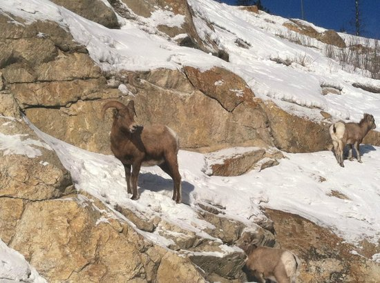 SunDog Transportation and Tours: Big Horn Sheep