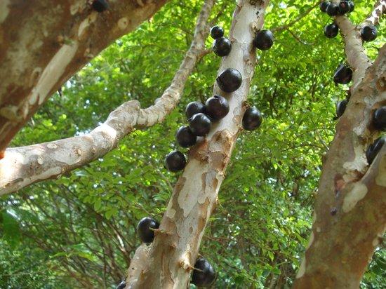 """Pomaika'i """"Lucky"""" Farm B&B: fruit tree"""