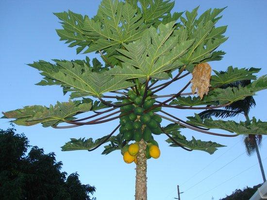 """Pomaika'i """"Lucky"""" Farm B&B: papaya"""