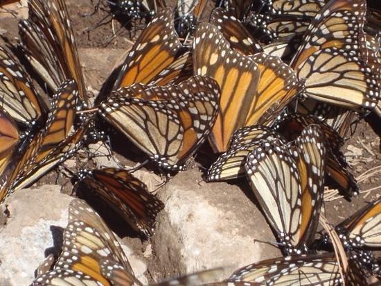 Piedra Herrada Sanctuary: mighty monarchs 1