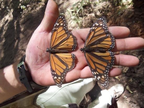 Piedra Herrada Sanctuary: mighty monarchs 2
