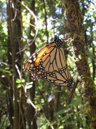 Piedra Herrada Sanctuary: mighty monarch 3