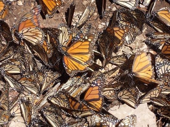 Piedra Herrada Sanctuary: mighty monarchs 3