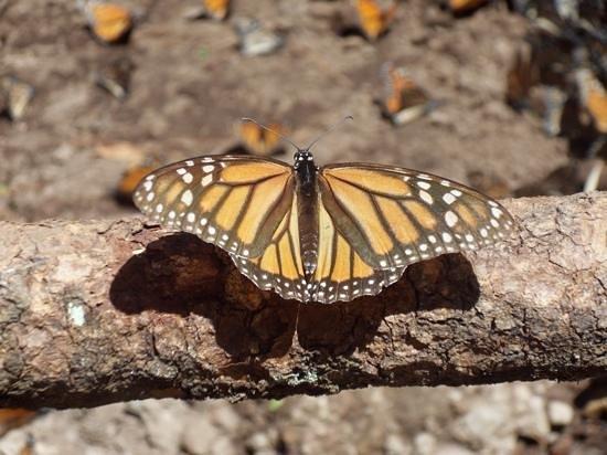 Piedra Herrada Sanctuary: mighty monarch 5