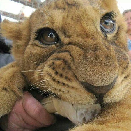 Paradise Valley Springs Wildlife Park: Handsome little lion cub �� incredible experience and for no extra cost! Not many places in the