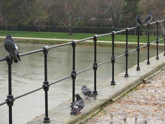 Pont Saint-Bénézet (Pont d'Avignon) : 雨の中、橋の手すりではねを休める鳩