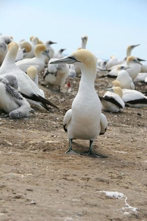 Gannet Colony: On guard
