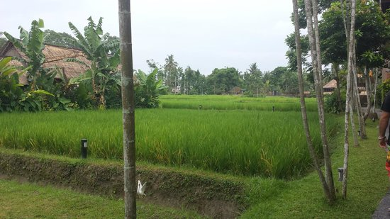 Saren Indah Hotel: Rice paddie to front of room