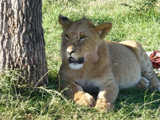 Encounter Mara, Asilia Africa: 2 year old male  lion cub