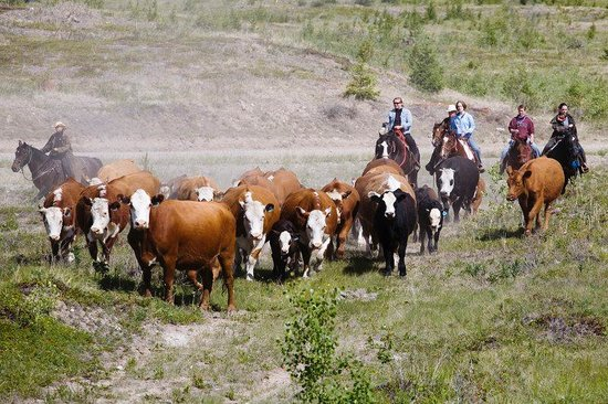 Echo Valley Ranch & Spa: Cattle Drive