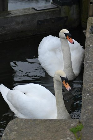 The Mill at Conder Green: Swans on the canal
