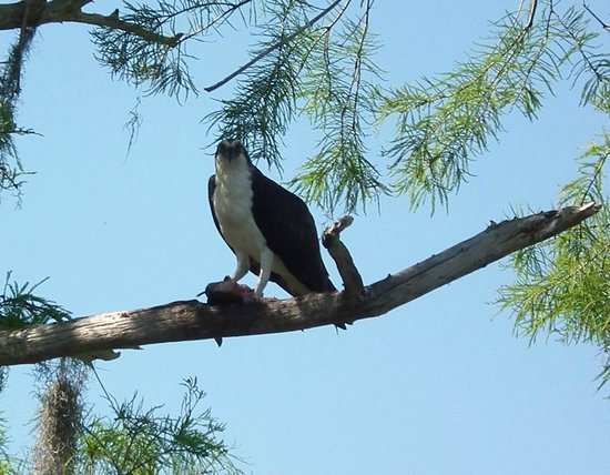 Airboat Wilderness Rides: Osprey with fish