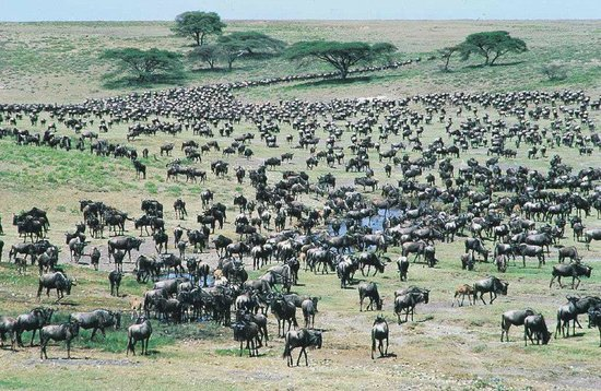 Masai Mara National Reserve, Kenya: wildebeests