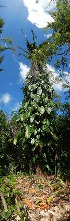 Yaxche Jungle Camp: Tree at Yaxche