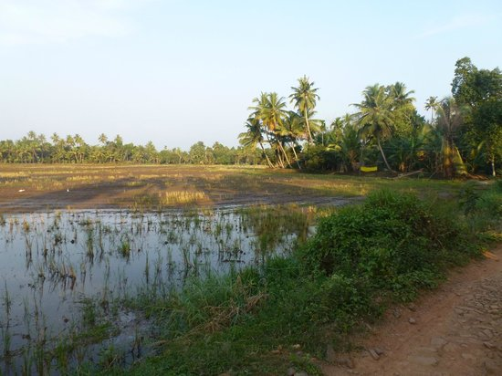 GK's Riverview Homestay: View of paddy field