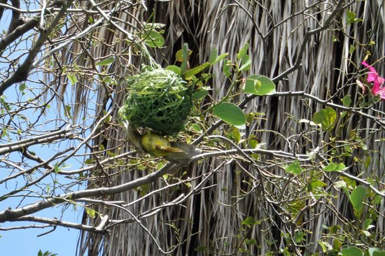 African Rock Hotel: Weaver bird making his nest