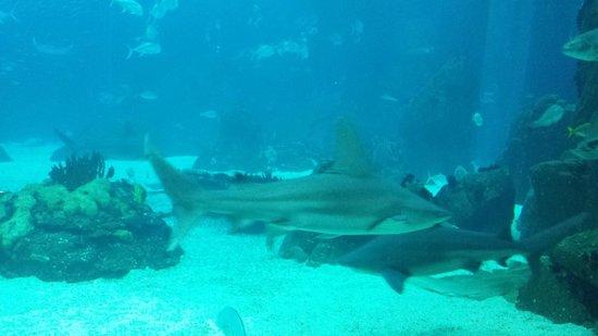 Lisbon Oceanarium : Sharks!