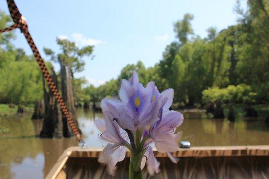 Atchafalaya Basin Landing & Marina- Swamp Tours : bayou nénuphar