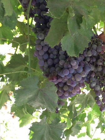 Buin, Chile: Mooie oude wijnranken