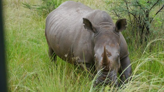 Bakubung Bush Lodge: Rhino in the park