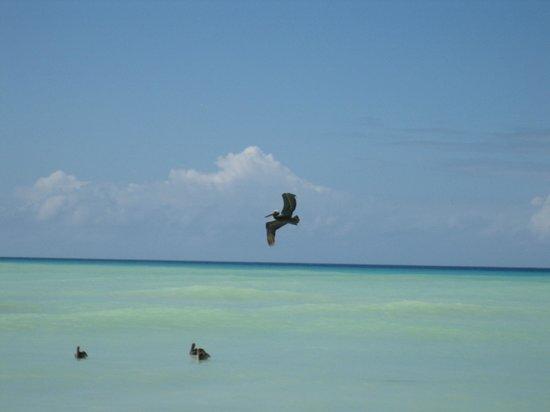 Sandy Point National Wildlife Refuge : Pelican