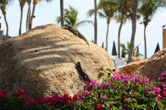 Grand Fiesta Americana Los Cabos All Inclusive Golf & Spa: Lizards sunning
