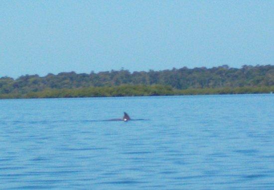 Under sea Panama: dolpin