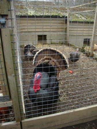Rare Breeds Centre: turkey