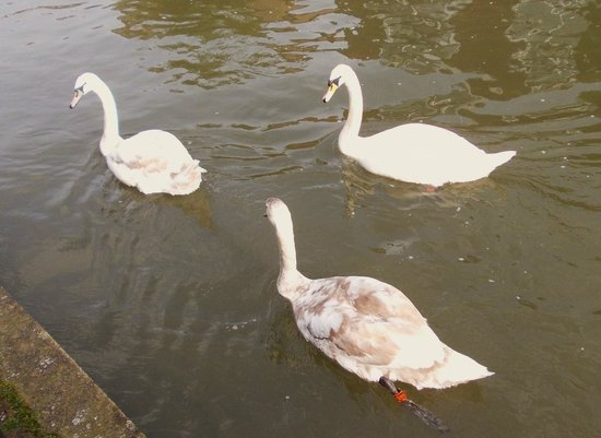 Bay Royal Weymouth Hotel : Swans on the river at Salisbury