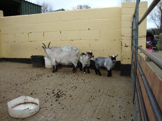 Rare Breeds Centre: goats
