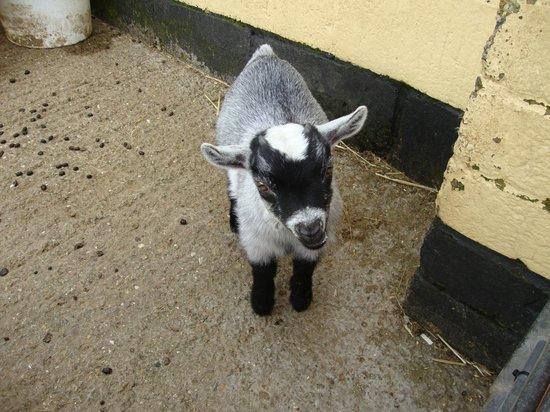 Rare Breeds Centre: goat