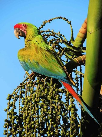 The Ara Project: Liberated Great Green Macaw eating Chonta palm fruit