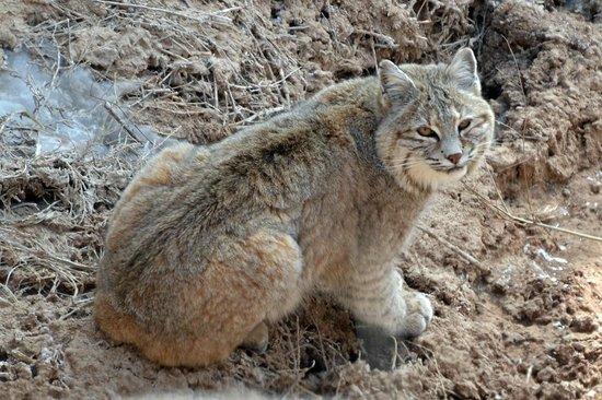 Badlands Wall: Bobcat