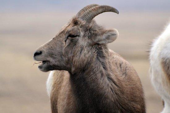 Badlands Wall: Bighorn sheep