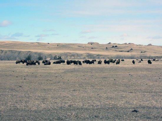 Badlands Wall: Bisons