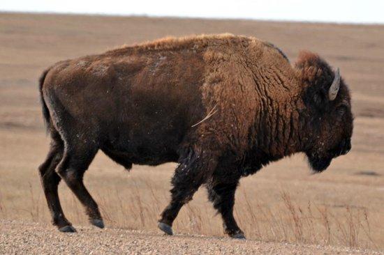 Badlands Wall: Buffalo