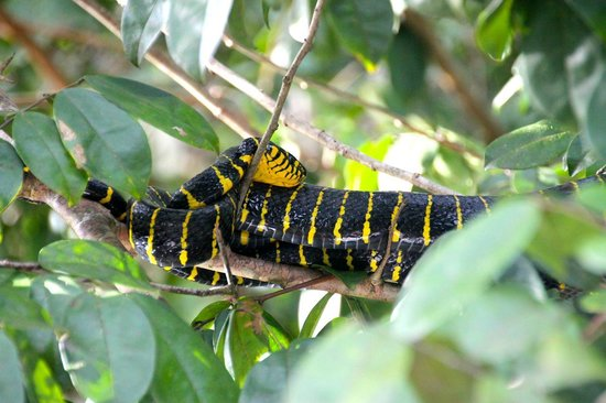 Borneo Nature Lodge: The black and yellow snake