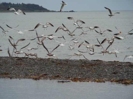 June's B&B By The Sea: Seagulls hanging out at the Cove Beach in front of B&B