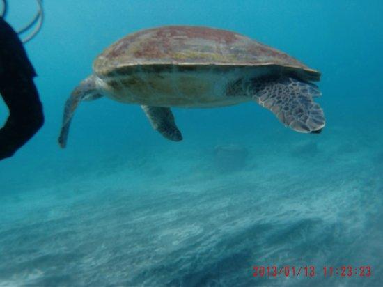 Espiritu De Buceo Padi 5 Star Dive Centre: turtles at Alcala