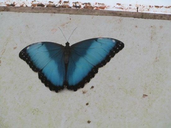 Butterfly Park of Benalmadena: één van de grote blauwe exemplaren