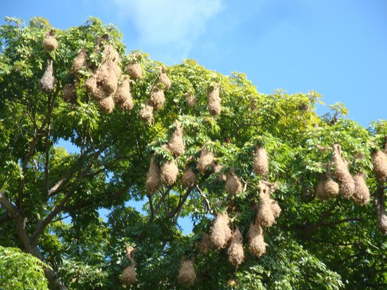 Islets of Granada: hanging nests of the Montezuma oropendola bird