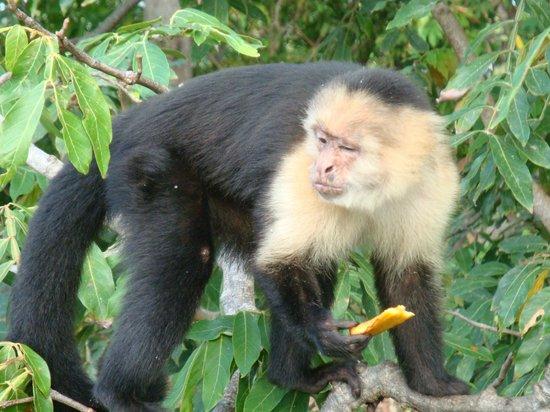Islets of Granada: white-faced capuchin
