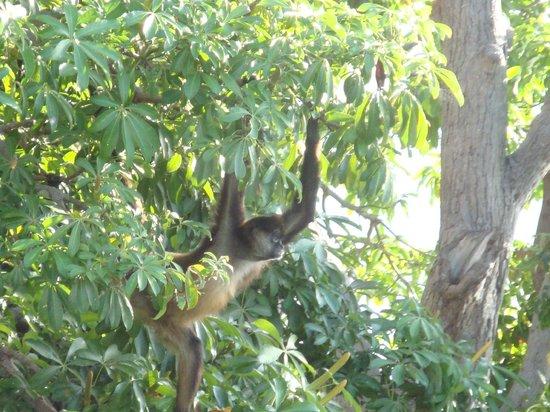 Islets of Granada: spider monkey