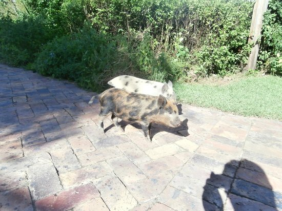 Fynbos Ridge Country House & Cottages: The piglets