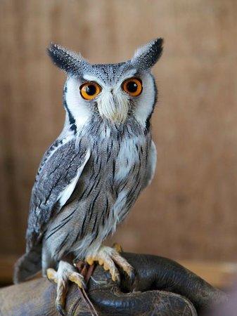 Battlefield Falconry Centre: Scops Owl