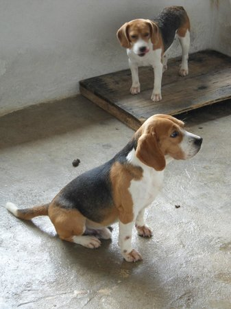 Sao Roque: Beagle