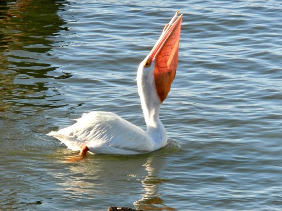 Port of Galveston: American White pecan with his bill too full to swallow